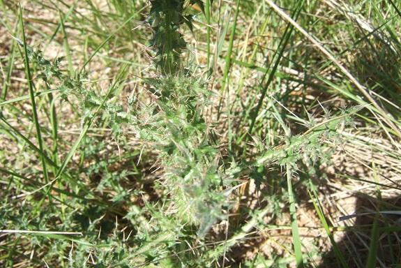 Carduus nigrescens - chardon noircissant Dscf3237