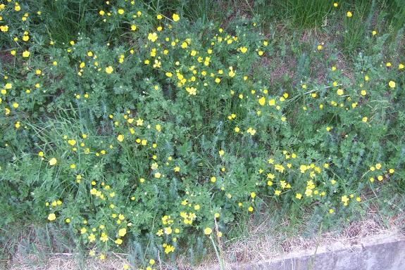 Ranunculus bulbosus - renoncule bulbeuse - Page 2 Dscf3244
