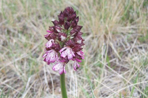 Orchis purpurea - orchis pourpre - Page 2 Dscf3248