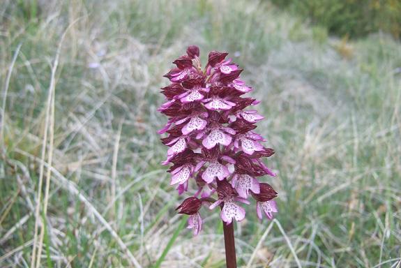 Orchis purpurea - orchis pourpre - Page 2 Dscf3249