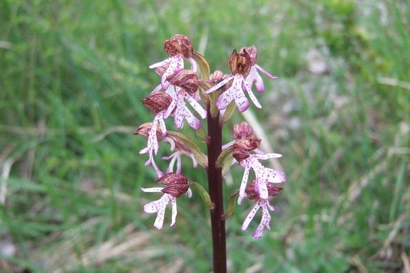 Orchis purpurea - orchis pourpre - Page 2 Dscf3251