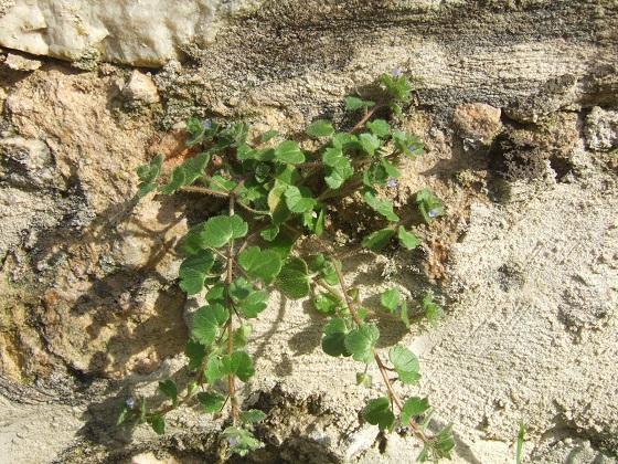 Veronica hederifolia subsp. hederifolia - véronique à feuilles de lierre  Dscf3259