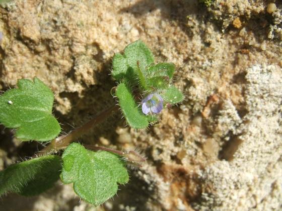 Veronica hederifolia subsp. hederifolia - véronique à feuilles de lierre  Dscf3261
