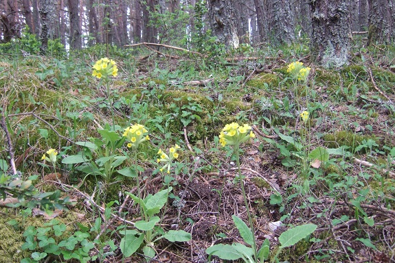 Primula elatior - primevère des bois Dscf3321