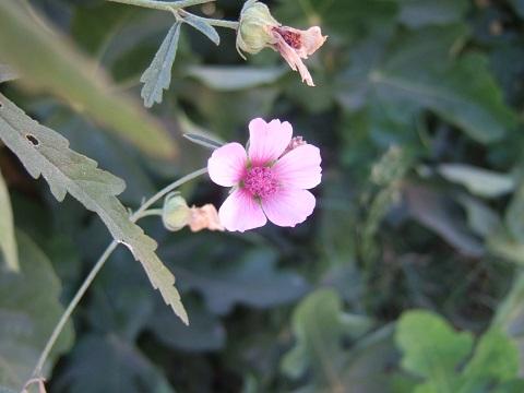 Althaea cannabina - guimauve à feuilles de cannabis Dscf3327