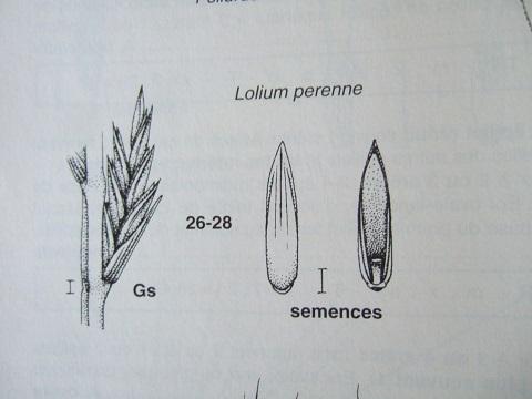 Lolium perenne - ivraie Dscf3329