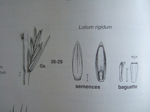 Lolium perenne - ivraie Dscf3330