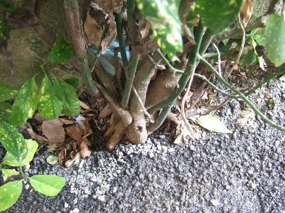 Aucuba japonica - aucuba du Japon - Page 2 Dscf3333