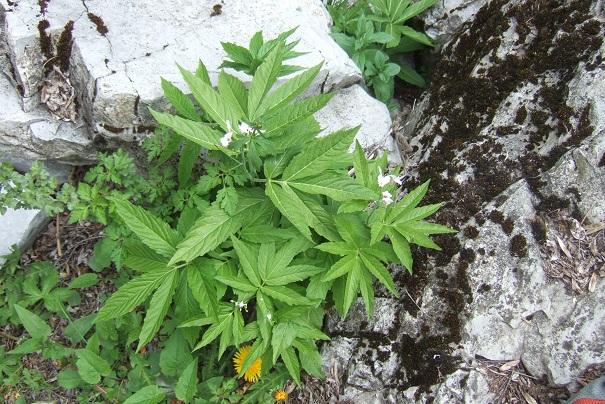 Cardamine heptaphylla - dentaire pennée  Dscf3415
