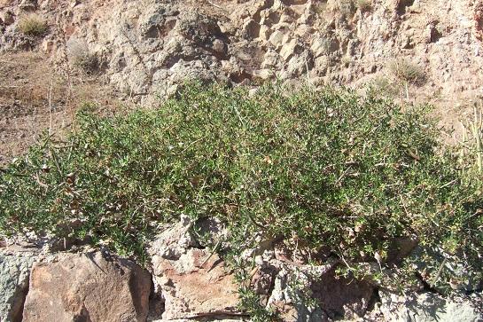 Periploca laevigata subsp. angustifolia Dscf3422