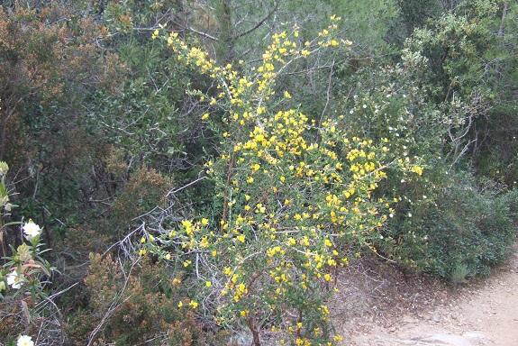 Adenocarpus telonensis - adénocarpe de Toulon Dscf3519