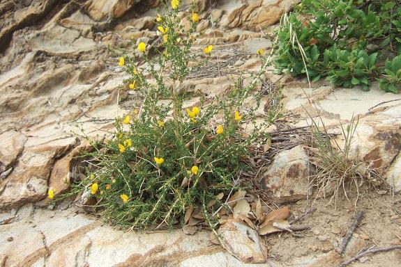 Adenocarpus telonensis - adénocarpe de Toulon Dscf3520
