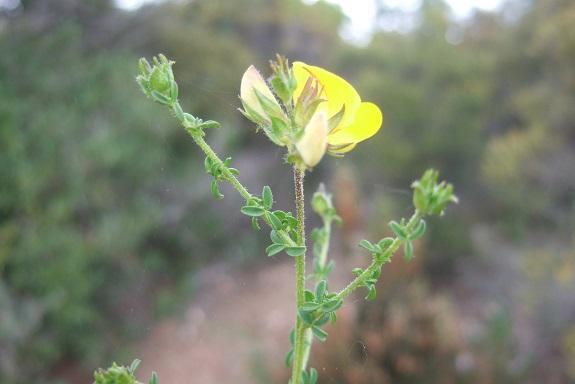 Adenocarpus telonensis - adénocarpe de Toulon Dscf3522