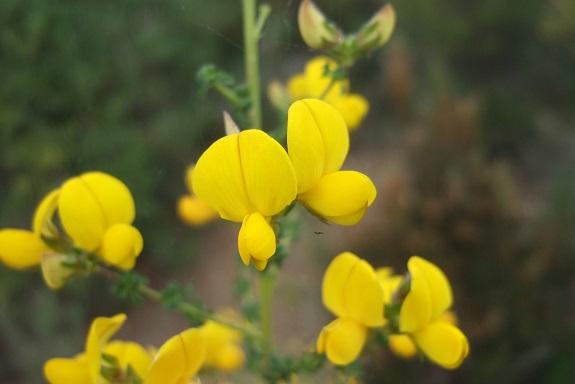 Adenocarpus telonensis - adénocarpe de Toulon Dscf3523
