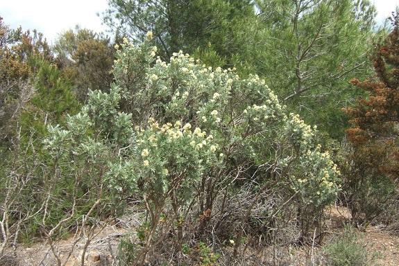 Anthyllis barba-jovis - anthyllide, barbe de Jupiter Dscf3546