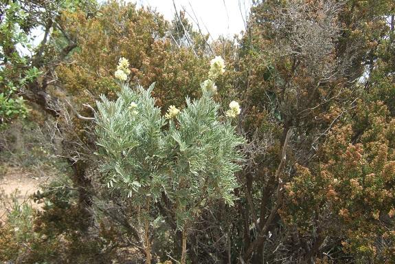 Anthyllis barba-jovis - anthyllide, barbe de Jupiter Dscf3547