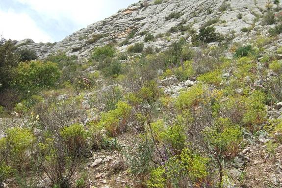 Euphorbia segetalis subsp. segetalis Dscf3623