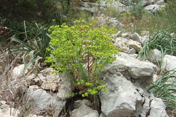Euphorbia segetalis subsp. segetalis Dscf3625