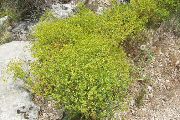 Euphorbia segetalis subsp. segetalis Dscf3626