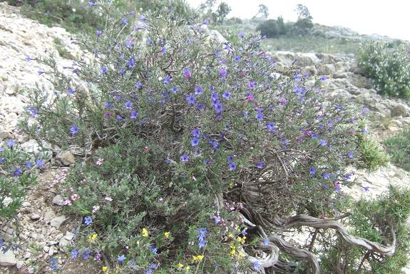 Lithodora fruticosa - grémil ligneux Dscf3629