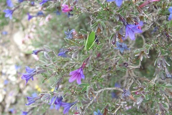 Lithodora fruticosa - grémil ligneux Dscf3630