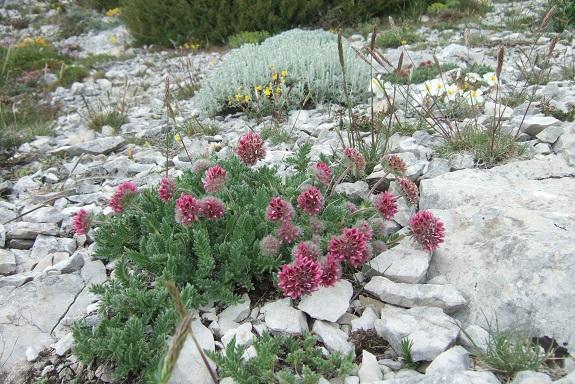 Anthyllis montana L. - vulnéraire des montagnes, anthyllide des montagnes Dscf3729