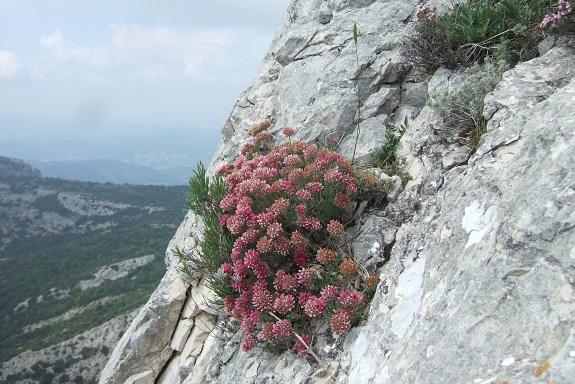 Anthyllis montana L. - vulnéraire des montagnes, anthyllide des montagnes Dscf3730