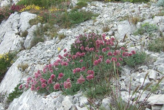 Anthyllis montana L. - vulnéraire des montagnes, anthyllide des montagnes Dscf3731
