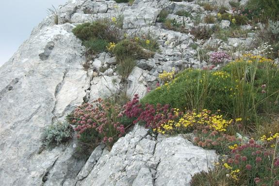 Anthyllis montana L. - vulnéraire des montagnes, anthyllide des montagnes Dscf3732