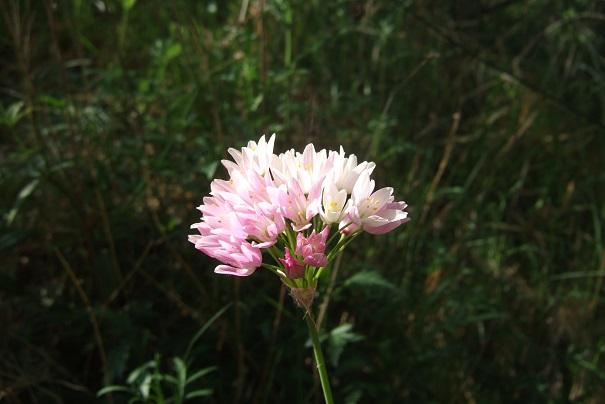 Allium roseum - ail rose Dscf3736
