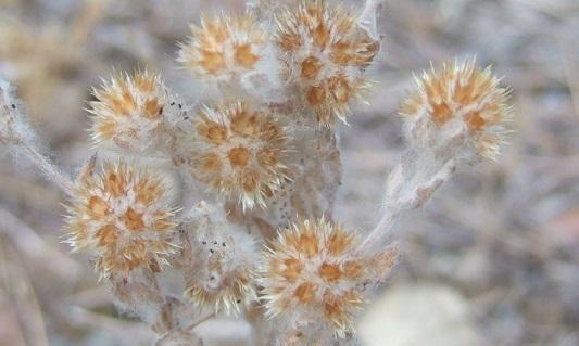 Filago germanica (= Filago vulgaris) - cotonnière commune Dscf3753