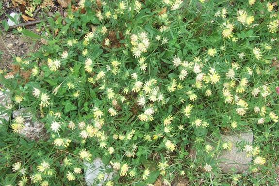 Anthyllis vulneraria - anthyllide vulnéraire, vulnéraire commune Dscf3815
