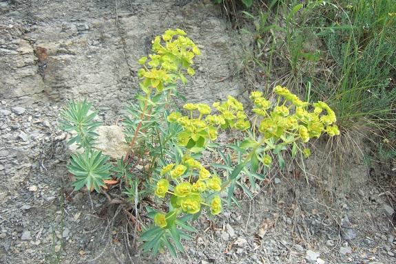 Euphorbia nicaeensis - euphorbe de Nice Dscf3917