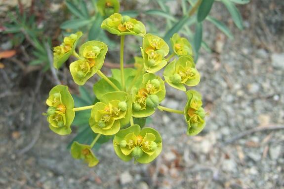 Euphorbia nicaeensis - euphorbe de Nice Dscf3918