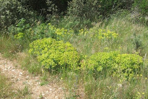 Euphorbia nicaeensis - euphorbe de Nice Dscf3919