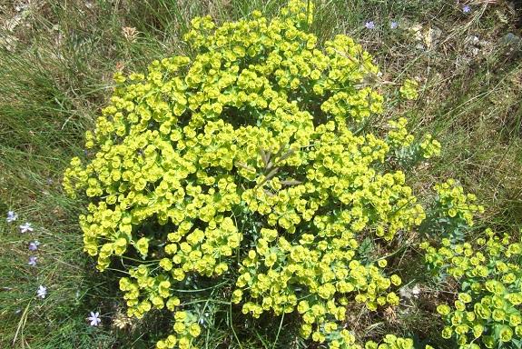 Euphorbia nicaeensis - euphorbe de Nice Dscf3920