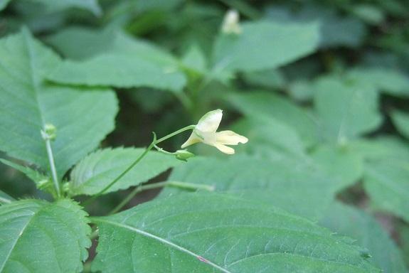 Impatiens parviflora - balsamine à petites fleurs Dscf3926