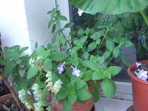 Streptocarpus saxorum Dscf3930