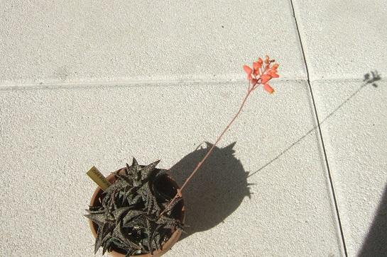 Aloe descoingsii Dscf4023
