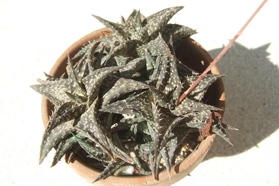 Aloe descoingsii Dscf4024