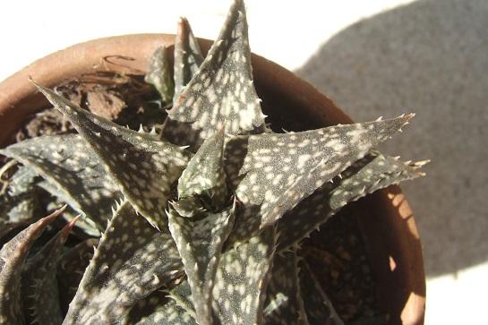 Aloe descoingsii Dscf4025