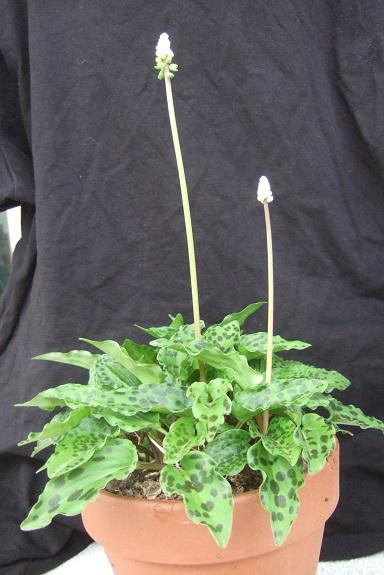 Drimiopsis maculata (= Ledebouria petiolata) - Page 2 Dscf4041