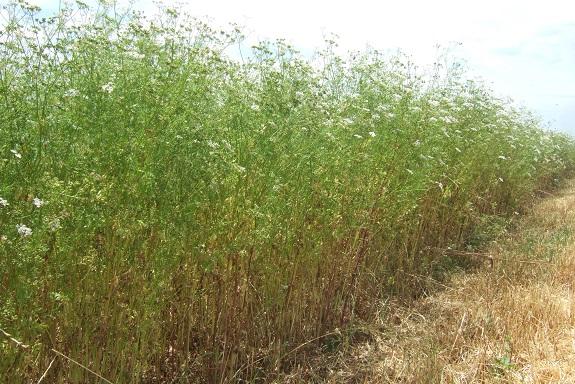 Coriandrum sativum - coriandre Dscf4059