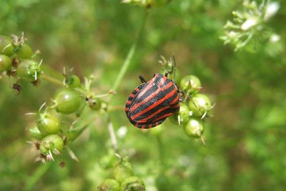 Coriandrum sativum - coriandre Dscf4067