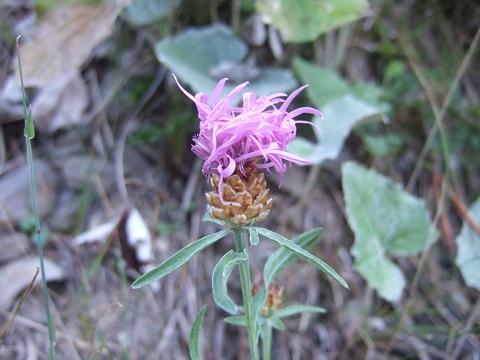 Centaurea jacea - centaurée jacée  Dscf4069