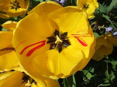 Tulipa - grands hybrides - tulipes chics et kitch (sections 1 à 11) - Page 7 Dscf4073
