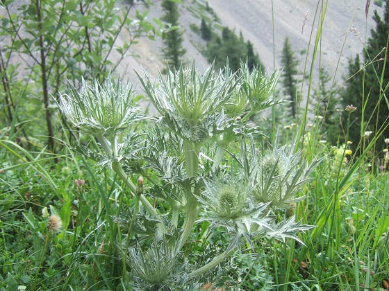 Eryngium spinalba - panicaut blanc des Alpes Dscf4074