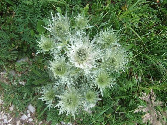 Eryngium spinalba - panicaut blanc des Alpes Dscf4075