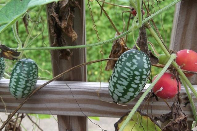 Melothria scabra - concombre à confire Dscf4110
