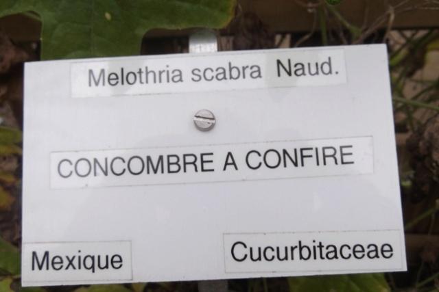 Melothria scabra - concombre à confire Dscf4111